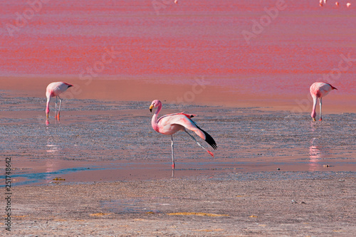 Pink flamingo in Bolivia