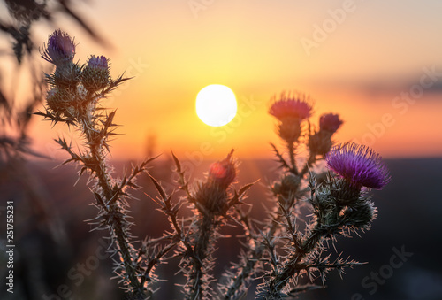 Photo Wild, Prickly thistle flower blooming during sunrise