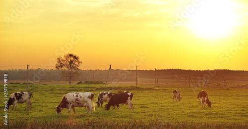 Foto auf Gartenposter Orange herd of cows in the field at sunset