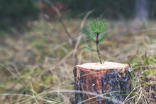 New Life Strenght And Development Concept - Young Pine Sprout Growing From Tree Stump
