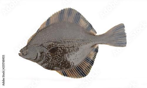 Fotografie, Obraz Star flounder, Pacific flounder