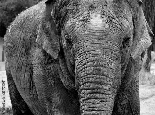 Poster Olifant Elephant black and white