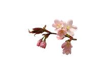 Cherry Blossoms Branch Isolated On White Background