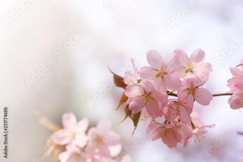 Fototapeta branch of cherry blossoms Sakura. spring time obraz na płótnie