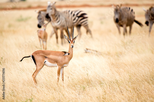 An antelope and some zebras in the savannah of Kenya