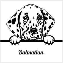 Dalmatian - Peeking Dogs - - Breed Face Head Isolated On White