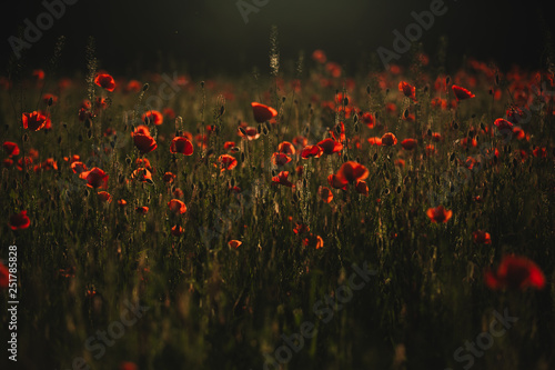 Poster Poppy Red poppies field. The Sun setting on a field of poppies in the countryside