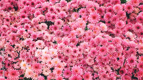 Pink Chrysanthemum background. Beautiful pink Chrysanthemum flowers in summer garden - 251791246
