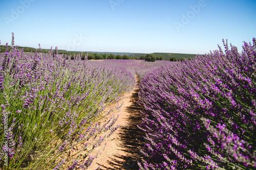 Fototapeta Lavender farm in la Alcarria, Spain obraz na płótnie