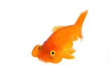 Image Of Bubble Eye Goldfish Isolated On White Background . Animal. Pet.