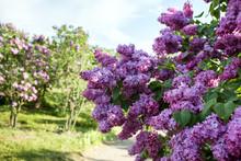 Large Bush Varietal Lilac
