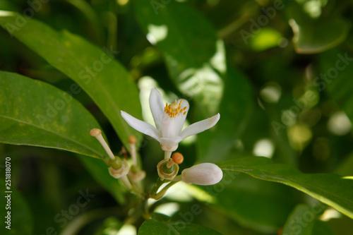 Fotografia Flor de laranjeira, pequena e bonita num ramo com as folhas verdes