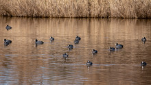 Group Of Common Coot In Llobre...