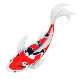 koi Carp fish Watercolor Painting ,Print Wall Art ,Hand painted.  koi Carp fish Illustration isolated on white background.