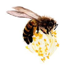 Bee Hand Drawn Sketch And Watercolor Illustrations. Watercolor Painting Bee.Bee Illustration Isolated On White Background.