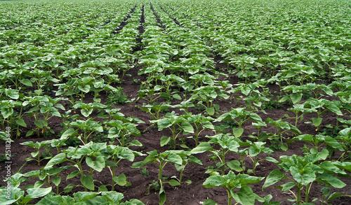 Obraz Field of young green sunflower plants - fototapety do salonu