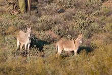 Wild Burros In The Arizona Desert
