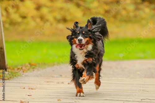 Fototapeta A picture of the happy adult Bernese Mountain Dog, running on the wooden bridge.  obraz na płótnie