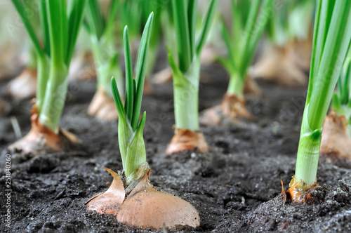 Papiers peints Culture close-up of growing green onion in the vegetable garden