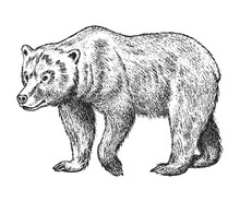 Brown Grizzly Bear, Wild Animal. Vintage Monochrome Style. Engraved Hand Drawn Sketch For Banner Or Label. Symbol Of The North And The Forest.