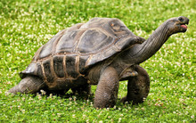 Large Turtle With Long Neck On The Green Lawn