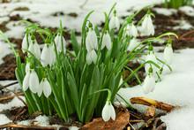 Snowdrops Spring Flower