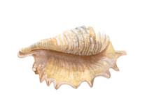 Beautiful Watercolor Sea Shell On White Background
