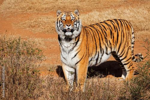 Ostrzeżenie Tygrys Bengalski (Panthera Tigris bengalensis) w świetle wczesnego poranka.