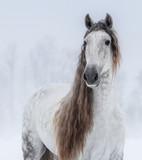 Szary, hiszpański koń z długą grzywą. - 251857008