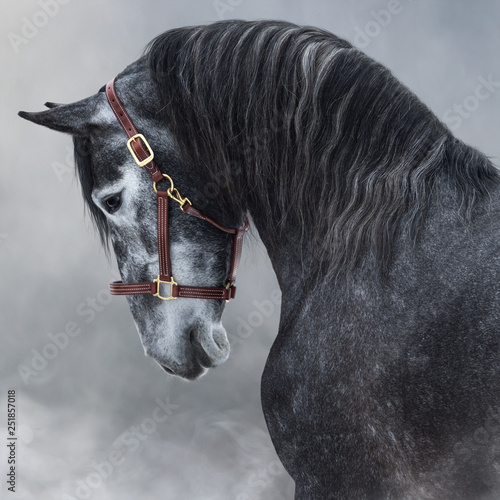 Fototapeta Portrait of gray Purebred Andalusian horse in smoke. obraz