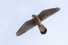 Common Kestrel (Falco Tinnuncu...
