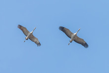 Common Cranes In Flight Blue S...