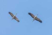 Common Cranes In Flight Blue S...