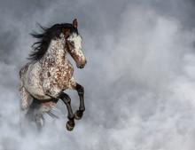 Portrait Of Appaloosa Horse In Light Smoke.