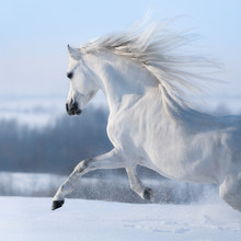 Beautiful White Horse With Long Mane Galloping Across Winter Meadow.