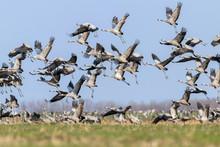 Flock Of Common Crane (Grus Gr...