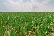 Green Corn Field. Green Corn Growing On The Field, Blue Sky And Sun