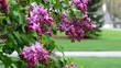 Bunches of Lilac flowers in the rain