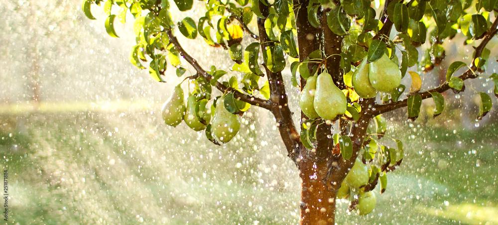 Fototapety, obrazy: Spring garden background. Summer rain in fruit garden