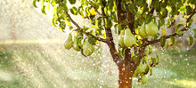 Spring Garden Background. Summer Rain In Fruit Garden