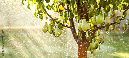 Fotografia, Obraz Spring garden background. Summer rain in fruit garden