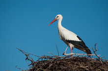 Portrait Of Stork Standing In Nest On The Roof