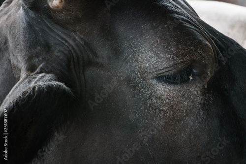 Photo Stands Panther Eye cow close up