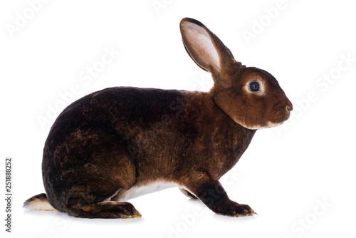 Fotografía Castor rex rabbit on white background