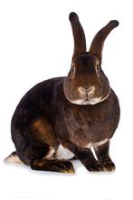 Castor Rex Rabbit On White Background