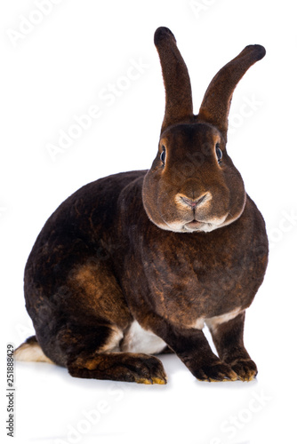 Cuadros en Lienzo Castor rex rabbit on white background