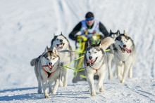 Musher Hiding Behind Sleigh At Sled Dog Winter Race