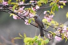 Brown-eared Bulbul And Full Bloom Cherry Blossoms.