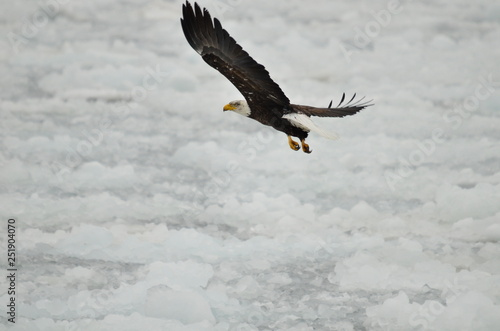 Poster Aigle Bald eagle in flight over ice on Lake Ontario in Ontario, Canada