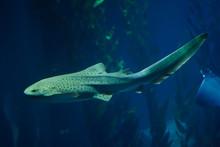 Zebra Shark (Stegostoma Fasciatum).